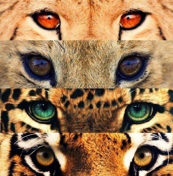 Гепард, леопард, пума, пантера, ягуар: қайсыбірі ҚАБЫЛАН?