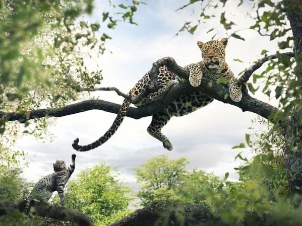 Батыр мысық африкалық жануарлармен ойнауда