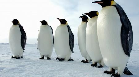 Пингвин – қанаты болса да, ұша алмайтын құс