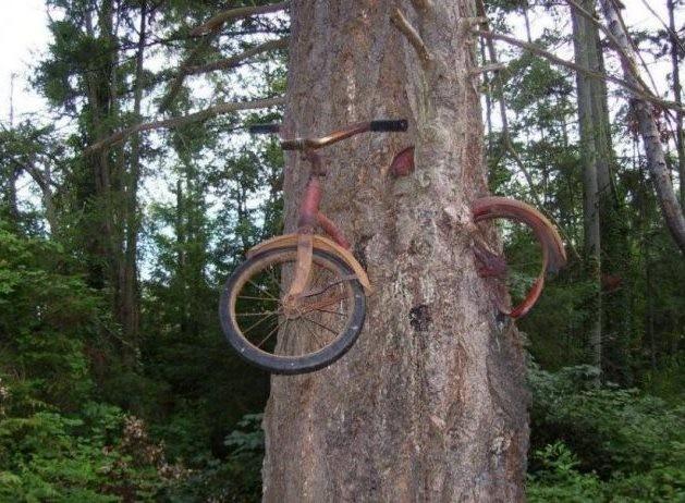 Ағашпен бірге өскен велосипед