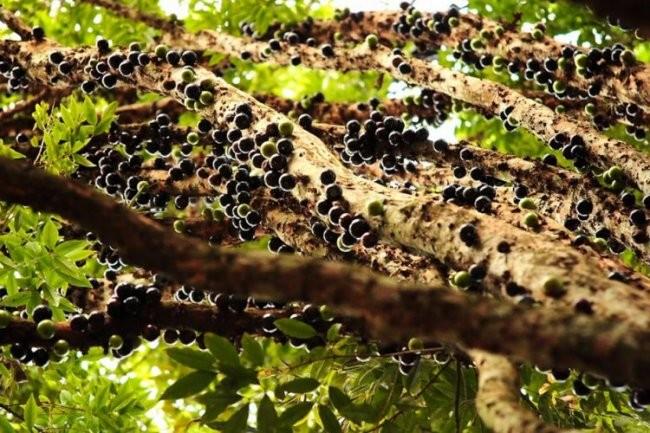 Джаботикаба – ағаш-жүзім