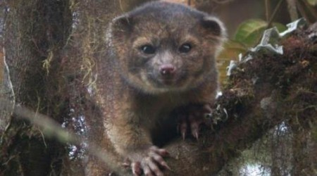 Оңтүстік Америкадан сүтқоректінің жаңа түрі табылды