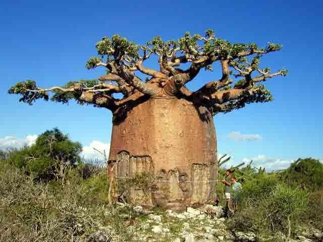 Баобаб - әлемдегі ең жуан ағаш