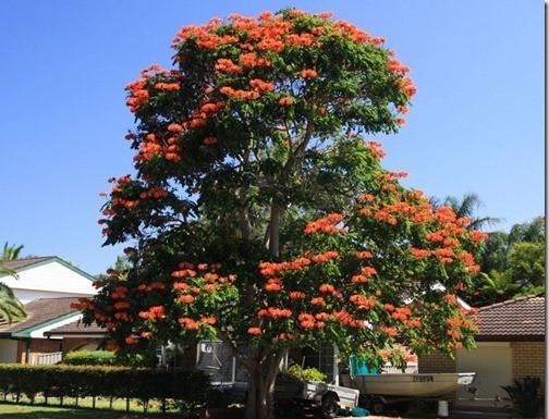 Африкадағы тюльпан ағашы