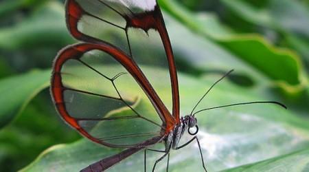 Амазонкада көрінбейтін көбелек өмір сүреді