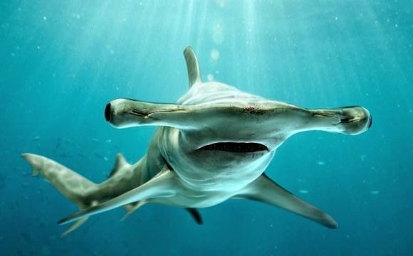 Акулалар бәрін көреді...