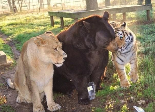 Балу, Лео, Шерхан. Үш жыртқыштың бейбіт өмірі