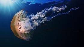 Әлемдегі ең үлкен медузаның ұзындығы – 37 метр
