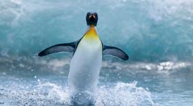 Ғалымдар пингвиндердің теңселіп жүру себебін зерттемек