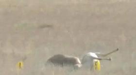 Ақтөбе облысында киіктер жаппай қырыла бастады