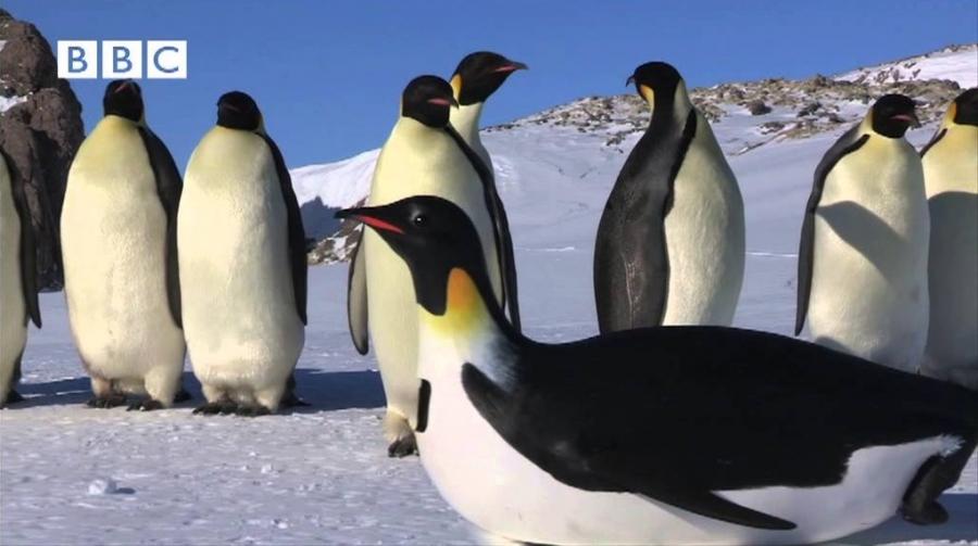 Ойыншыққа алданған императорлық пингвиндер (видео)