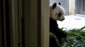 Әлемнің ең қарт пандасы — 36 жаста