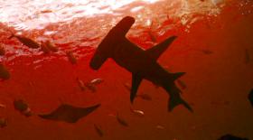 Белсенді жанартаудың кратерінде акула өмір сүреді (видео)