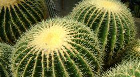 Ғалымдар кактустардың келешегіне алаңдаулы