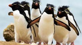 Рокхоппер пингвиндері көбеюінің сыры