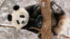 Панда жануарының күлкілі әрекеттері (Видео)