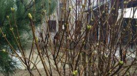 Оңтүстік Қазақстанда күннің жылынуынан мамыргүл бүршік жара бастады