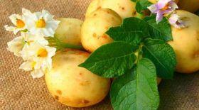 Сұлулыққа картоптың пайдасы