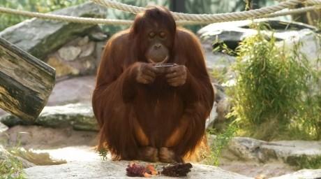 Канадалық орангутандар iPad планшетін үйреніп жүр