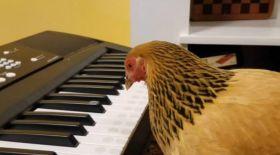 Пианинода ойнай алатын тауық пайда болды (видео)