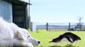 Аустралияда өмір бойы пингвиндерді қорғап келген ит өлді