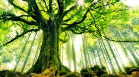Еуропа нышаны – Бук ағашы