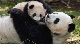 Панда баласын ұйықтатуға тырысты (видео)