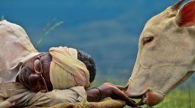 Үндістанның сиырды құрметтеу себебі неде?