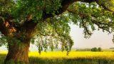 Емен ағашының емдік қасиеттері