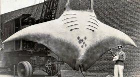 1933 жылы түсірілген фотосуреттегі алып скаттың құпиясы