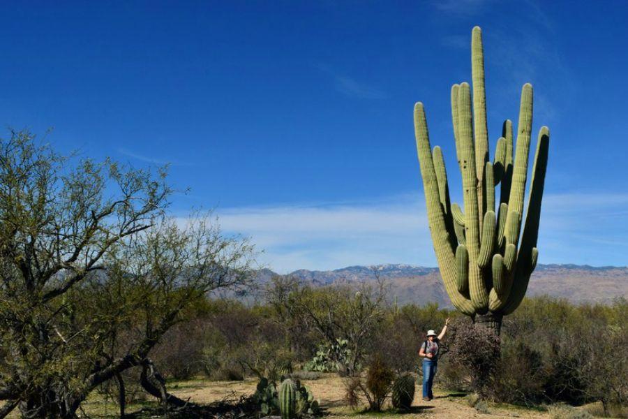 Биіктігі 20 метр: Сагуаро кактусы туралы білесіз бе?