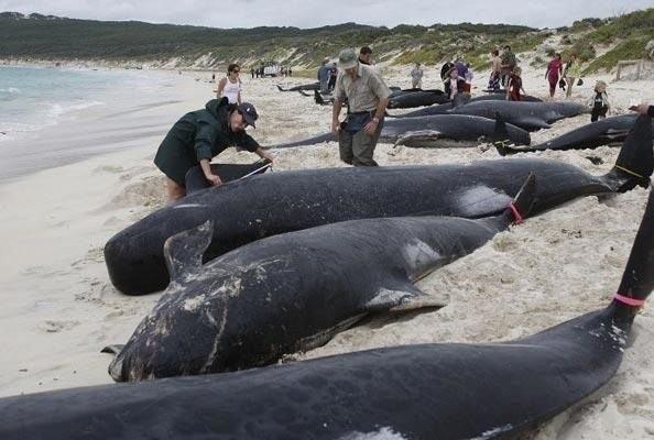 Жаңа Зеландияда 28 кит жағалауға шығып қалды