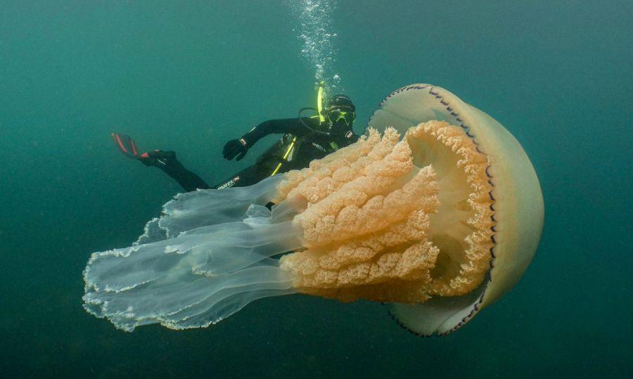Ұлыбританияда адаммен бірдей медуза табылды