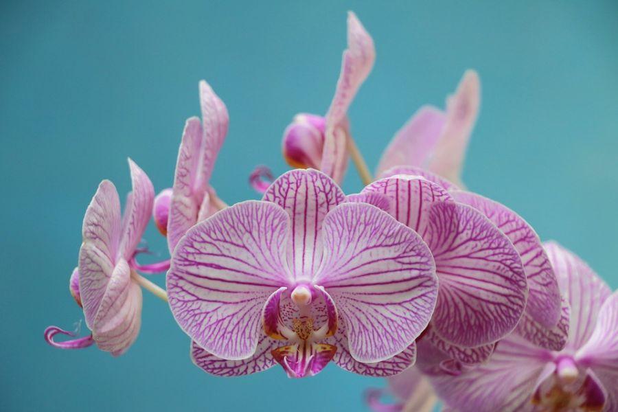 Орхидея гүлі туралы аңыздар