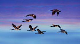 Құстар неге жылы жаққа ұшып кетеді?