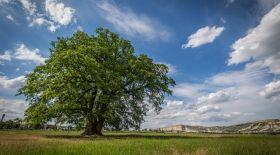 Емен – көне ағаш