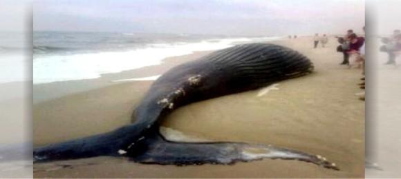 Жағаға шығып қалған кит өлгелі жатыр