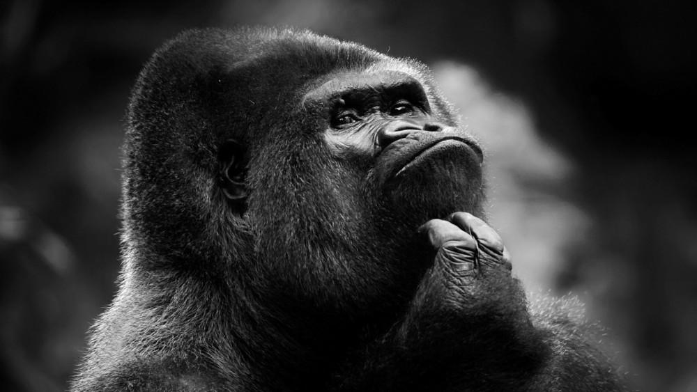 Зерттеуге үлес қосқан гориллалар