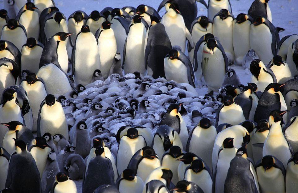 Ғалымдар пингвиндердің өмірін робот көмегімен таспаға түсірді