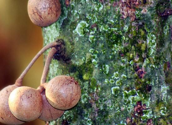 Инелі ағаш