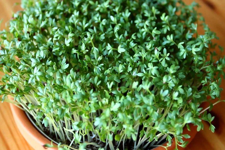 кресс-салат выращивание фото